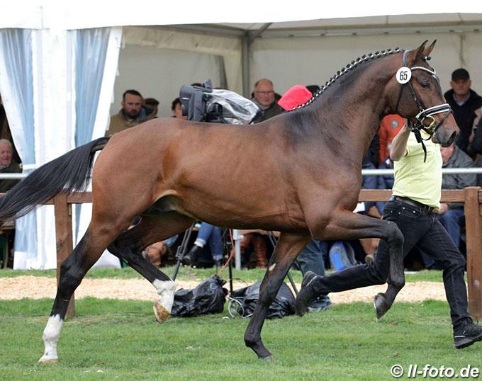 Damaschino, Top Scorer in 2019 Schlieckau Stallion Suitability Test