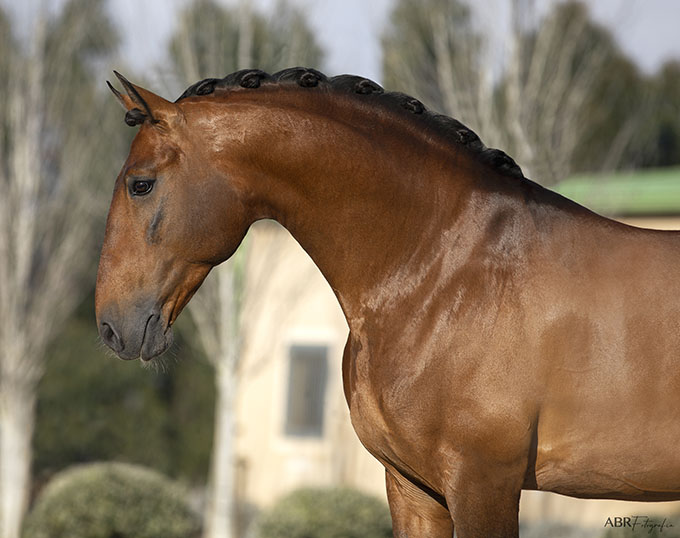 Horse Campline Launches Stallion Catalogue Featuring Serious Lusitano Horse Power