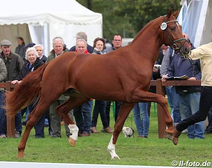 Woodlander Wicked Game, Top Scorer of the 2019 Munich Stallion Suitability Test