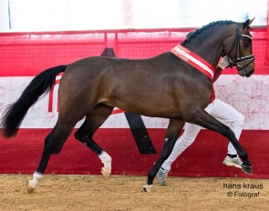 Faberge EP, champion of the 2018 Austrian Warmblood Stallion Licensing :: Photo © Hans Kraus