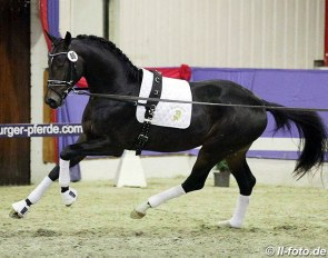 Fiderdance x Sandro Hit at the 2018 Oldenburg stallion licensing pre-selection :: Photo © LL-foto