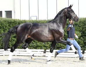 Fabrice (by For Romance x Don Schufro) - Already accepted for the Stallion Licensing !!