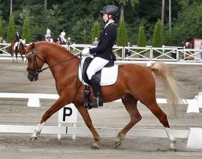 FEI Dressage pony and licensed stallion Pin Rock's Albert