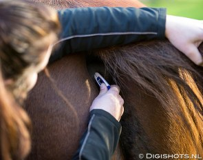 Taking a horse's temperature :: Photo © Digishots