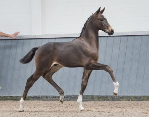 "Oirendo (by Toto Jr x Tuschinski) is one of the six stunners that are for sale in the ""Borculo CDI Foal Auction"" on 6 July 2019"