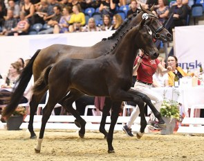 Borbjergs Fairy Beautifull (by Knock Out x Romanov)