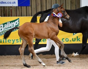 Merikanto (by Morricone x Showmaker), bronze medalist at the 2019 British Futurity Foal Championship