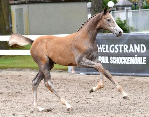 High potential foals for sale in the 3rd Online Foal Auction by Schockemöhle / Helgstrand