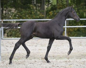 Zackeis-Ø (by Blue Hors Zackerey x Tailormade Attention x Blue Hors Romanov)