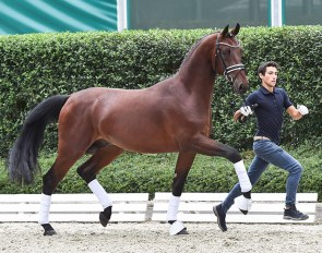 Baron´s Diamond PS (by Baron  x Fürst Romancier) :: A 2.5 yo colt by BARON out of the direct mother line of ZONITH