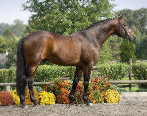 KWPN keur stallion Sir Sinclair :: Photo © Terri Miller