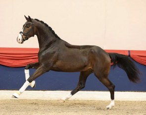 The KWPN bred Nelson MH (by Foundation x Wynton x Flemmingh), presented by Gestut Bonhomme at the saddle licensing.
