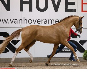 Sunnyboy van de Kempenhoeve (BWP, by Don Deluxe x Quaterback) :: Photo © Dirk Caremans