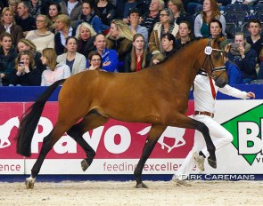 Handsome O at the 2015 KWPN Stallion Licensing :: Photo © Dirk Caremans