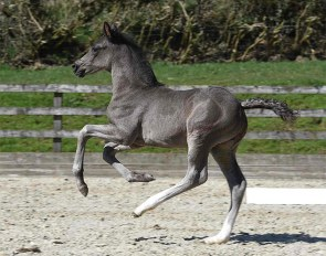 Newton Roarcus (by Rotspon x Blue Hors First Choice)