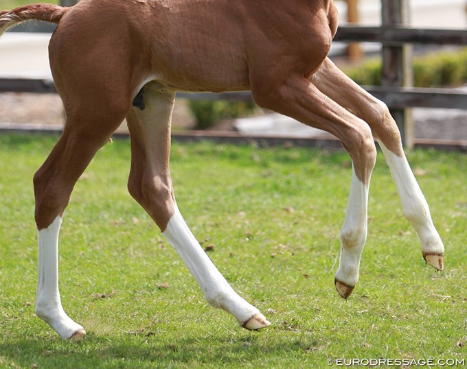 Young foal with healthy legs :: Photo © Astrid Appels