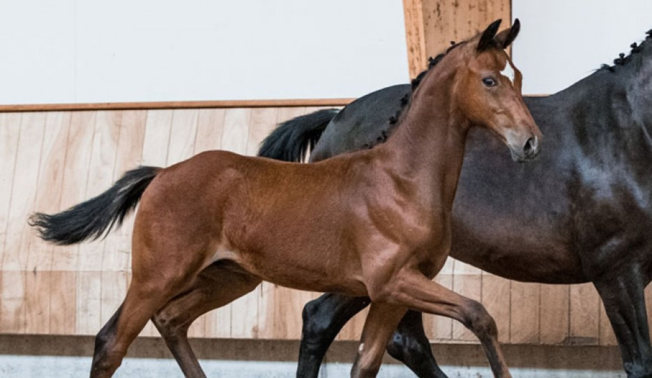 The well-moving Parel (by Furst Jazz) is part of the 2020 KWPN Foal Auction which concludes on 10 August 2020