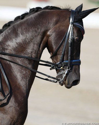 Kate Wiggins' Corona with blue rimmed noseband