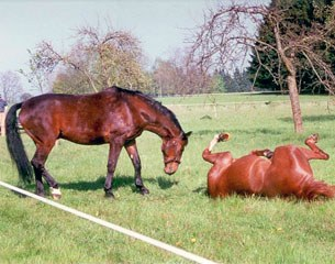 Angelika's horses Per Saldo and Gustav frolicking in the field