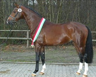 Estobar, Champion of the 2006 Westfalian Stallion Licensing