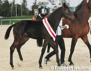 2010 Swiss Colt Champion Dressage: San Valentino (by San Amour)