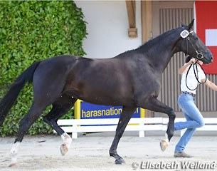 Dolce Vita, 4-year old champion mare by De Niro x Don Primero x Royal Angelo