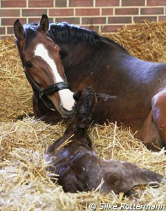 Newborn foal by Cashmir at Bourne Hill Stables
