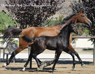 Chicago Fire (by Chicardo x V.Pr.St./Pr.Sp. Surrey – Silvio I) - Breeder:  Vickie Montgomery, Hollister, CA  USA