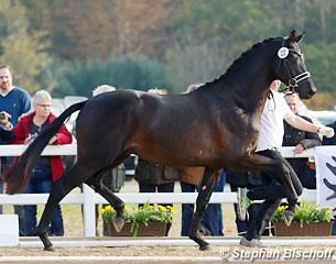Kaiser Milton at the 2017 Trakehner Stallion Licensing :: Photo © Stephan Bischoff