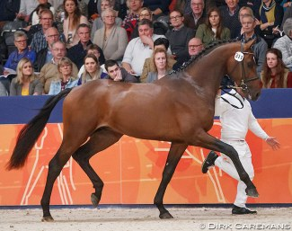 Kissinger (by Arlando x Special D) at the 2018 KWPN Stallion Licensing :: Photo © Dirk Caremans