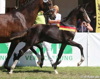 2018 German Colt Foal Champion by Zoom x Don Romantic :: Photo © LL-foto