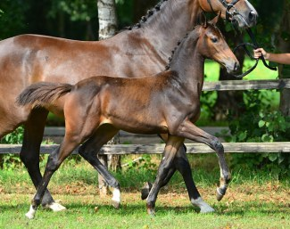 Nevita (by Cohinoor VDL) is part of the KWPN Online Foal Auction collection