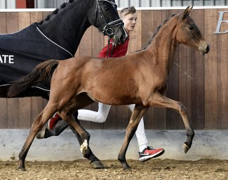Hesselhøj Vamilja (by Vitalis x Sir Donnerhall II) is part of the 2018 DWB World Cup Foal Auction Collection