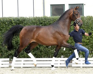 Valerio (by Vivaldi x Lorentin x Carano) - Already accepted for the stallion licensing