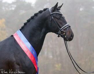 Oldenburg Verband Thinks European Names Grand Galaxy Son Champion
