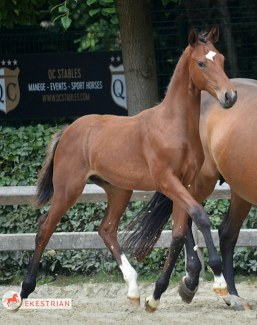 Vitalis x Carabas colt, one of the top lots in the 2019 Ekestrian Online Dressage Auction