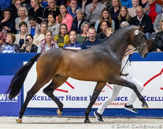 Newly approved premium stallion Merlot (by Bordeaux x Florencio) at the 2020 KWPN Licensing :: Photo © Dirk Caremans