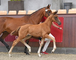 Jestis La Liga (by Livius x Aljano), winner of the Blue Hors foal championship and sold to Blue Hors :: Photo © Ridehesten