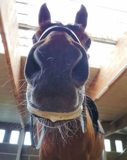 This is the right amount of foam a horse should have: lipstick.. Not a dry mouth (tension), nor a very foamy mouth (the contact prevents the horse from swallowing properly)