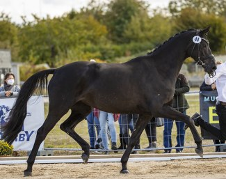Helia (by Millennium) received the top price of the mares collection. She sold for  105,000 euro :: Foto: Stefan Lafrentz)