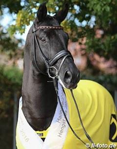 Desperados Hanoverian Stallion Of The Year 2016