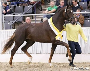 Quattroporte at the 2016 Hanoverian Stallion Licensing :: Photo © LL-foto